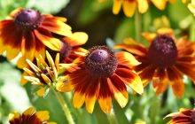 De ce este considerată echinaceea o plantă minune pentru organism