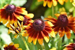 De ce este considerata echinaceea o planta minune pentru organism