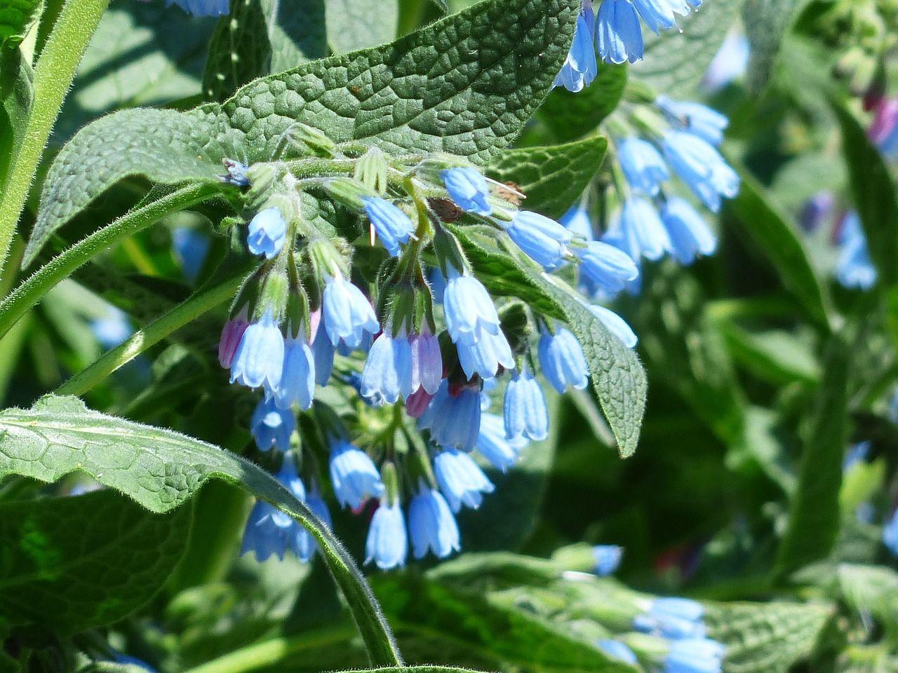 Planta medicinală uimitoare care alungă răceala, combate inflamațiile, vindecă arsurile