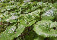 Planta care scade zahărul din sânge! În plus, este detoxifiantă și antibacteriană
