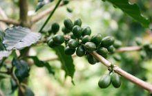 Cafeaua verde, beneficii incredibile pentru cei care o consumă