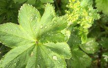 Planta miraculoasă care poate preveni fibromul uterin. Aliatul de nădejde al femeilor