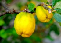 Fructul de aur al toamnei! Face minuni în organism: scade colesterolul, tensiunea, previne cancerul și ne stimulează imunitatea